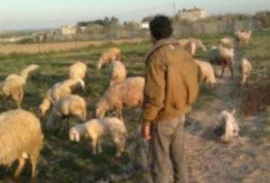 Palestinian shepherd (archive image)