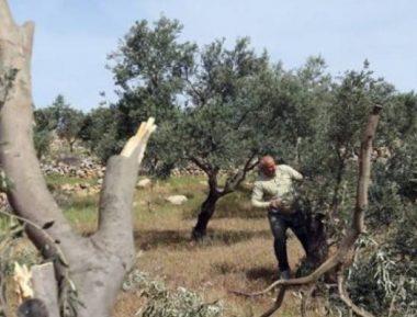 Israeli Colonialists Cut 30 Olive Trees Near Nablus– IMEMC News