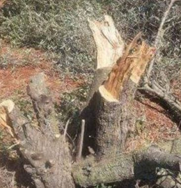 Uprooted olive tree (archive image)