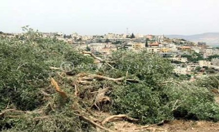 Olive trees uprooted (archive image)