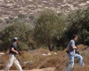 Illegal Colonists Attack Palestinians Picking Their Olive Trees Near Nablus