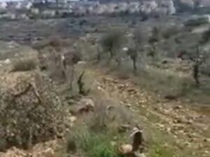 Israeli Colonists Uproot Dozens Of Olive Trees Near Salfit
