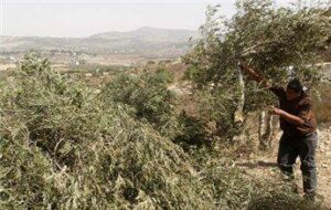 Israeli Colonizers Cut And Uproot 300 Olive Trees Near Ramallah